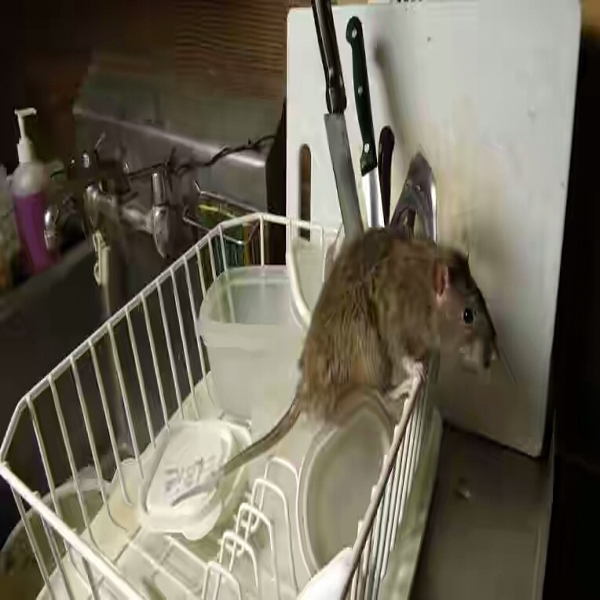 Rats And Rodents Control Service